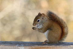 Squirrel. A nervous squirel is sited on a rail Royalty Free Stock Images