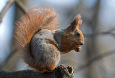 Squirrel. Bushy squirrel puts its talons together and sits on the branch. Squirrel's pelage is red and gray Stock Photos