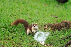 Squirrel Royalty Free Stock Photos