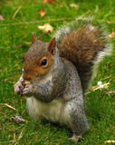 Squirrel. Eating Royalty Free Stock Photo