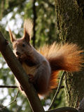 Squirrel. A squirrel hanging on tree royalty free stock photo