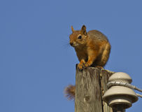 Squirrel. Watching the world on the top of a electricity post stock photography