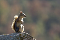 Squirrel. Standing up on her feet watching around royalty free stock images