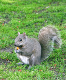 Squirrel. Grey squirrel on the grass Stock Images
