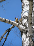 Squirrel. On the tree Royalty Free Stock Image