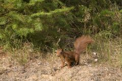 Squirrel. In the nature reserve Veluwe, Netherlands Royalty Free Stock Photos