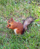 Squirrel. Gnaws nut in the forest Royalty Free Stock Photography