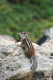 Squirrel. Wild Chinese squirrel on the rock Stock Photography