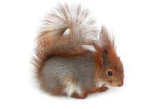 Squirrel. European grey  squirrel, on a white background Royalty Free Stock Photo