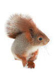 Squirrel,. Grey  squirrel, on a white background Royalty Free Stock Photography