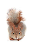 Squirrel, Royalty Free Stock Images