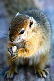 Squirrel. Up and close with African squirrel Stock Photography