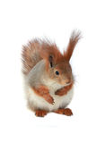 Squirrel,. Grey  squirrel on a white background Stock Images
