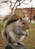 squirrel royaltyfria foton