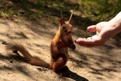 Squirrel 3 Royalty Free Stock Photos