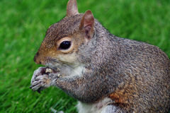 Squirrel 3. This is a squirrel in Saint James's Park in London Stock Images