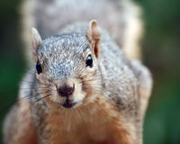 Squirrel. Close-up portrait of a squirrel Royalty Free Stock Photography