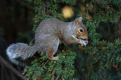 Squirrel. Shalow DOF stock photography