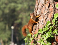 Squirrel. In the Croatian forest Stock Photo
