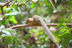 Squirrel. An imege of a squirrel in a tree in Kenya royalty free stock images