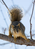 Squirrel. A fuzzy squirrel perched on a tree limb Royalty Free Stock Photography