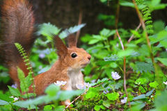 Squirrel. A squirrel in the grass stock images
