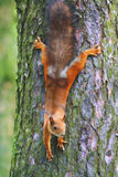 Squirrel. Small squirrel on a tree royalty free stock images
