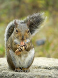 Squirrel. Eating nut Stock Photo
