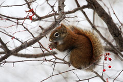 Squirrel. The squirrel is eating berry royalty free stock photography