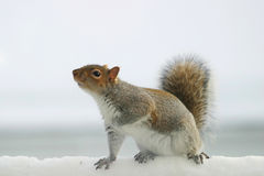 Squirrel. A Gray Squirrel on snow Stock Photos