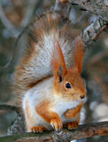 Squirrel. Red squirrel sits on a branch of a tree Royalty Free Stock Image