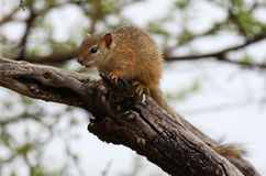 A Squirrel. Sitting in a tree looking down Royalty Free Stock Images