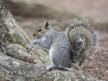 Squirrel. North America squirrel in the wild royalty free stock photo