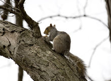 Squirrel. North America squirrel in the wild stock photos