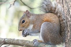 Squirrel. Eating a nut Royalty Free Stock Photography