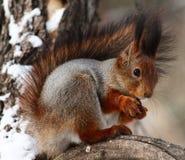 Free Squirrel Stock Images - 50855294
