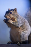 Squirrel. A gray squirrel nibbles on a walnut Stock Image
