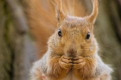 Squirrel. Red squirrel in its natural habitat eating a nut Stock Image