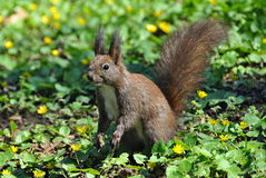 Free Squirrel Stock Photography - 52349432