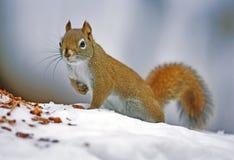 Free Squirrel Stock Images - 54408424