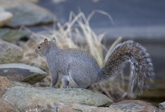 Squirrel. On the rocks near a pond stock image