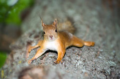 Free Squirrel Royalty Free Stock Photo - 5540425