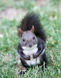 Squirrel. A shot of squirrel portrait royalty free stock image