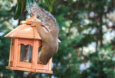 Free Squirrel Royalty Free Stock Photos - 56215248