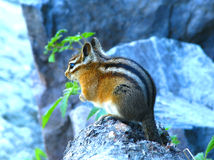 Squirrel. In Glacial national park in Montana stock photography