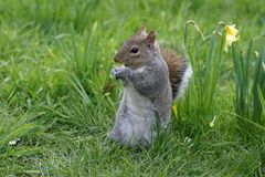 Squirrel. A squirrel eating daffodils in a park Royalty Free Stock Images