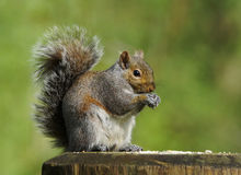 Free Squirrel Royalty Free Stock Photos - 64224408