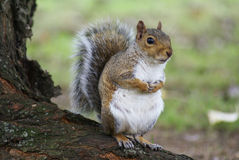 Squirrel Stock Photography
