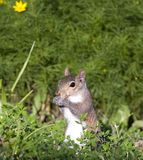 Squirrel. Tree squirrel that has found something to eat royalty free stock images