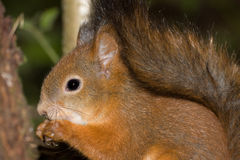 Squirrel. Close-up of a red squirrel eating a nut stock photo